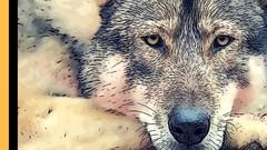 653419d0ea8e3 WOLVES The DOG Ancestors - Learning Animals Nature Dog Human   Udemy