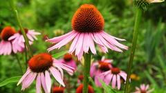 Herbalism :: Growing Medicinal Plants