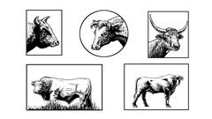 Draw a Bull