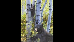 Learn to Paint Bears in Aspen Step-by-Step!