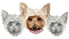 Learn how to draw and paint in watercolor this Yorkie puppy.