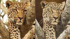 Embroidery Software: Digitizing an African Leopard in Embird