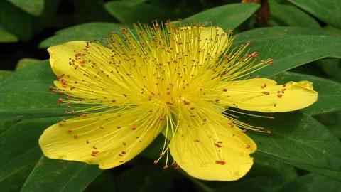 Herbalism :: Identify & Harvest Wild Medicinal Plants