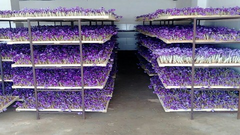 [Udemy Coupon] Greenhouse cultivation traning course of saffron