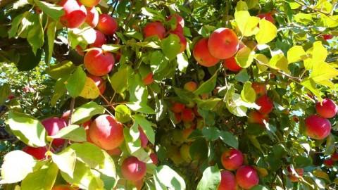 Netcurso - //netcurso.net/poda-de-arboles-frutales