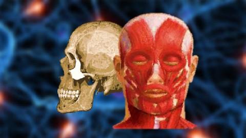 Anatomy of the Head & Neck